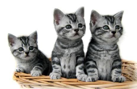American shorthair kittens pictures